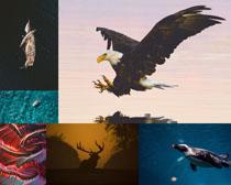 老鷹鹿動物拍攝高清圖片