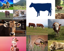 奶牛与牛动物摄影高清图片