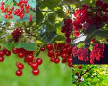 陽光下的植物果子攝影高清圖片