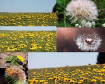 菊花蒲公英花叢攝影高清圖片