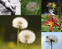 蒲公英與花朵寫真攝影高清圖片