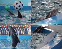 動物園海豚表演攝影高清圖片