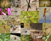 各種蜻蜓動物攝影高清圖片
