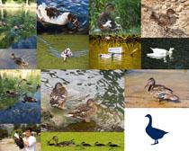 可愛的動物鴨子攝影高清圖片