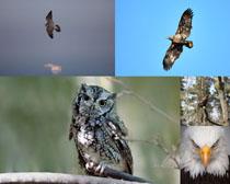 貓頭鷹老鷹飛鳥攝影高清圖片