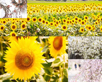 向日葵花朵美麗攝影高清圖片