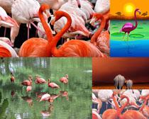 漂亮丹頂鶴動物拍攝高清圖片