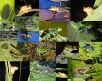 荷葉與青蛙動物拍攝高清圖片