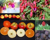 蘋果水果花朵拍攝高清圖片