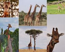 長頸鹿動物寫真拍攝高清圖片