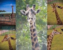 长颈鹿写真拍摄高清图片