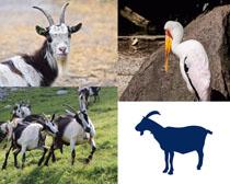 山羊動物拍攝高清圖片