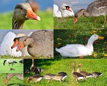 草地上的鴨子拍攝高清圖片