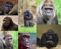 猩猩動物寫真拍攝高清圖片