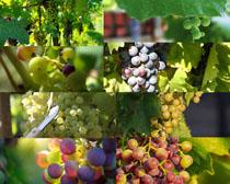 新鮮樹上葡萄攝影高清圖片