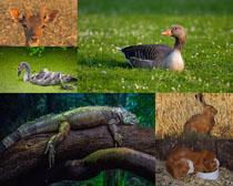 鴨子蜥蜴兔子動物拍攝高清圖片