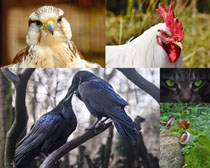 飛鳥與公雞攝影高清圖片