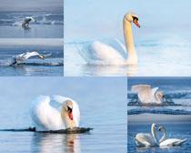 漂亮的白天鵝攝影高清圖片