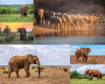 非洲大象動物寫真攝影高清圖片