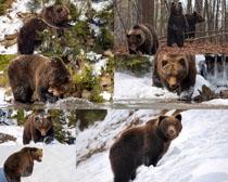 雪地狗熊動物攝影高清圖片