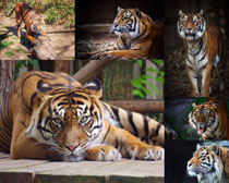 老虎動物寫真拍攝高清圖片