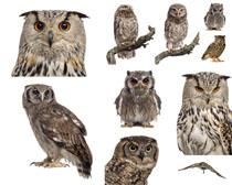 猫头鹰动物写真摄影高清图片