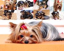 金毛可愛狗狗寫真攝影高清圖片