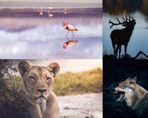 豹子狼飛鳥動物拍攝高清圖片