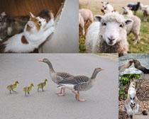 猫咪羊鸭子动物摄影高清图片
