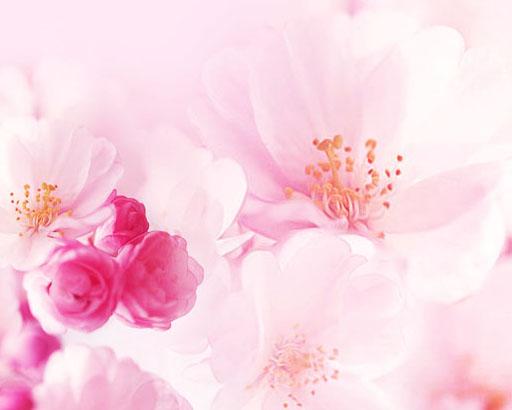 盛开的桃花背景PSD素材