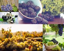 葡萄園攝影高清圖片