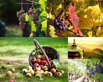 葡萄蘋果莊園攝影高清圖片