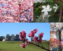 春天美丽的樱花花朵摄影高清图片