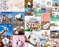 各種有機棉花高清攝影圖片