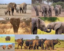 野外大象写真动物摄影高清图片