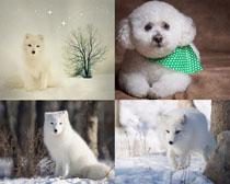 雪地小白狗寫真拍攝高清圖片
