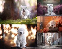 奔跑的小白狗拍攝高清圖片