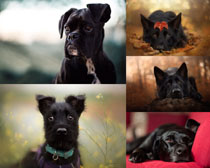 黑色犬種狗攝影高清圖片