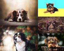 拉布拉多寵物攝影高清圖片