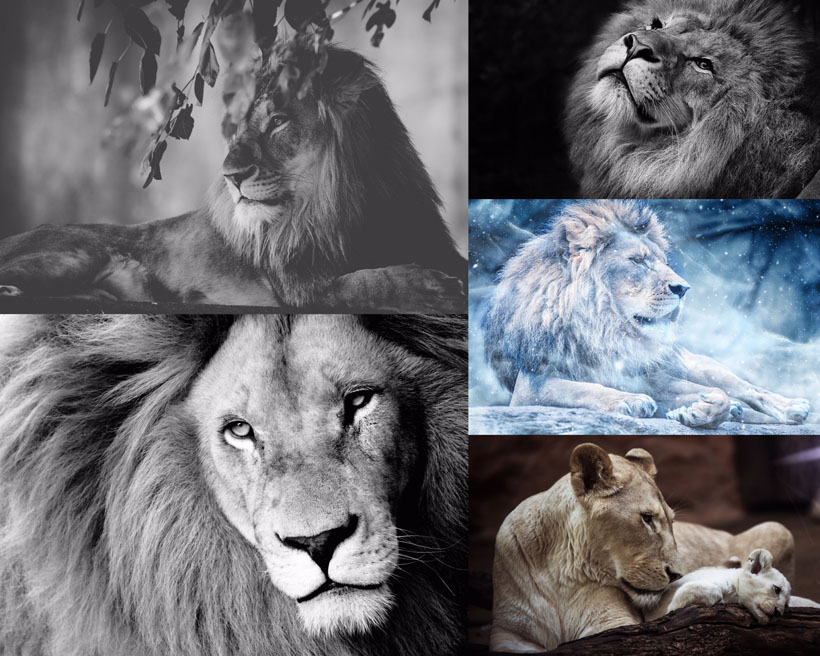 黑白动物狮子摄影高清图片