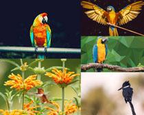 金剛鸚鵡鳥類攝影高清圖片