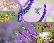 春天花朵蜂鳥攝影高清圖片