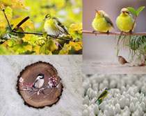 春天漂亮的小鳥攝影高清圖片