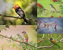 春天枝頭鳥類攝影高清圖片