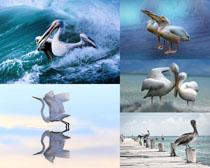 鵜鶘鳥動物寫真攝影高清圖片