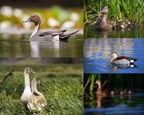 水面鴨子動物寫真拍攝高清圖片