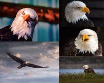 兇猛的老鷹動物拍攝高清圖片
