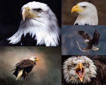 空中猛獸老鷹寫真拍攝高清圖片