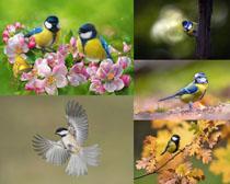 漂亮的山雀鳥類寫真拍攝高清圖片