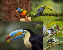 可愛的巨嘴鳥寫真拍攝高清圖片
